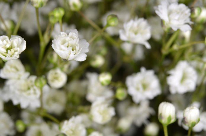 Lipa i kwiat lipy – jakie są ich lecznicze właściwości?